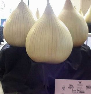 Onion - Own Selection Large Exhibition - PREMIUM PLANTS