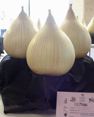 Onion - Own Selection Large Exhibition - PREMIUM PLANTS