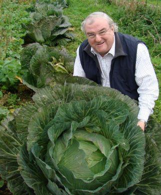 GIANT CORNISH CABBAGE PLANTS Cabbage