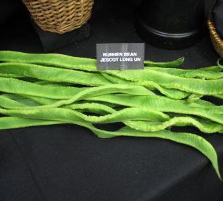 Longest Runner Bean (Jescot-Long-Un)