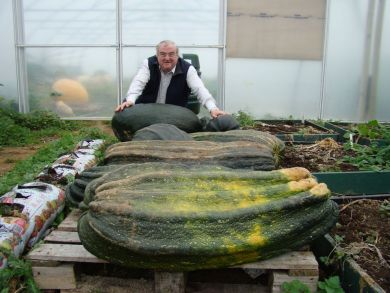 Giant Green Marrow Plants (From my Own Re Selected seed)