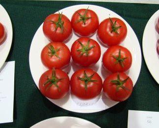 ZENITH F1 (Tomato Plants)