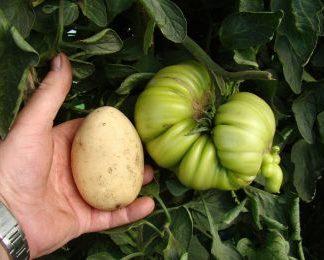 Giant Tomato P.G. Selection