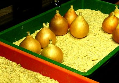 Hercules onion sets