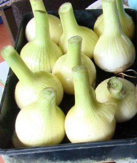 Centurion onion sets