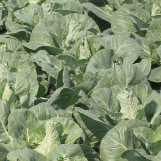 Regency F1 Green Pointed Cabbage