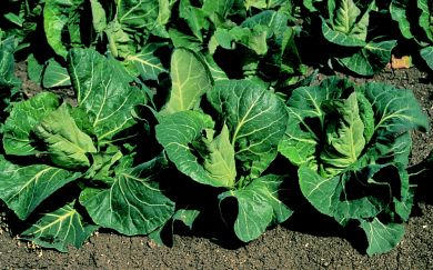 Advantage F1 Pointed Cabbage