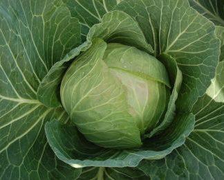 Cabbice round green cabbage
