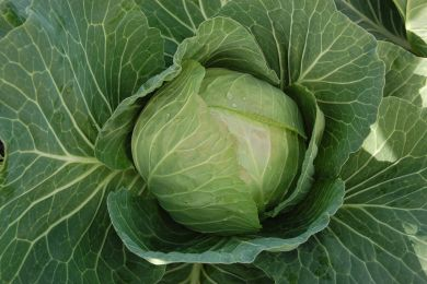 Cabbice round green cabbage
