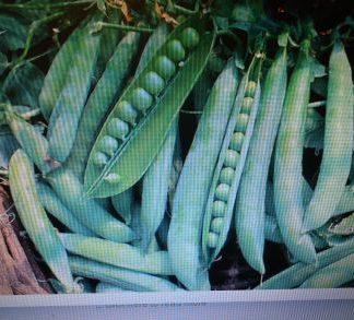 Hurst Greenshaft Pea