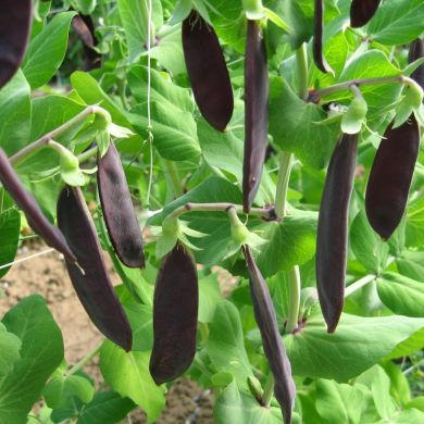 *NEW* Shiraz Purple podded snow pea