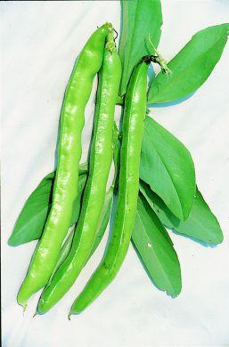 Masterpiece Green seeded Longpod