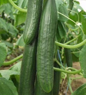 Cucumber Louisa F1