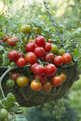 *NEW* Terenzo tomato F1