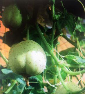 cucumber Crystal Apple (Heritage Variety)