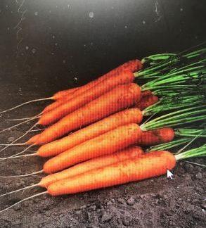 Speedo F1 Carrot