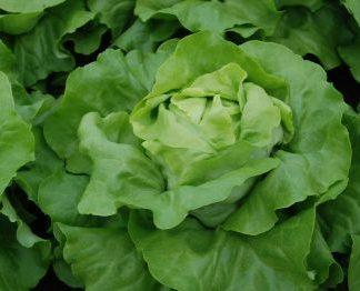 Barilla Butterhead lettuce