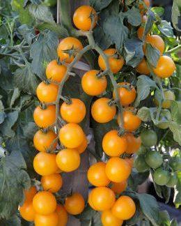 Tomato Goldwin