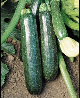 Sure Thing F1 Courgette