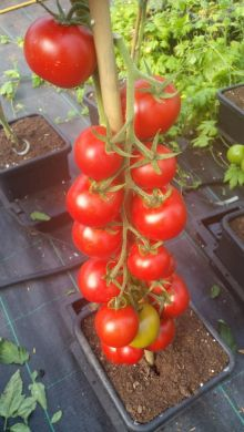Y Ddraig Goch F1 Tomato