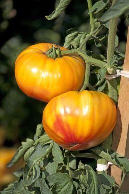 *NEW* Buffalo Sun F1 Beefsteak Tomato