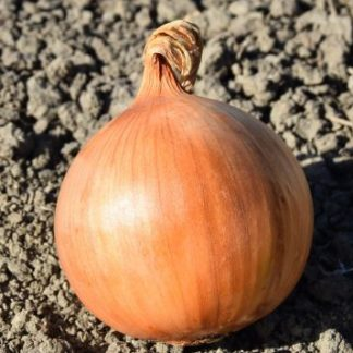 Fasto F1 Onion