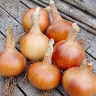 Santero F1 (Resistance to onion downy mildew)